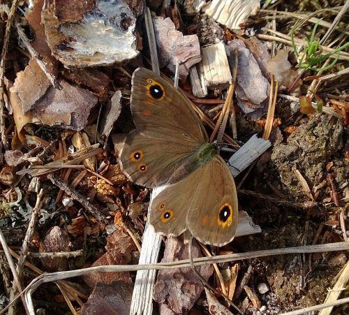 butterfly brown lasiommata maera