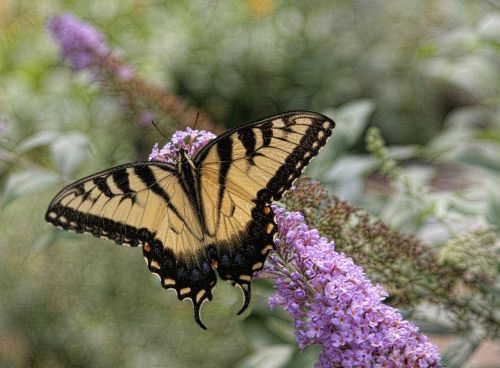 butterfly eastern tiger swallowtail nature