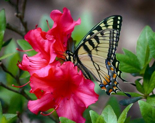 butterfly swallowtail yellow