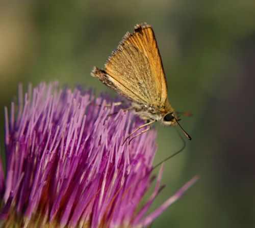 butterfly thistle flower