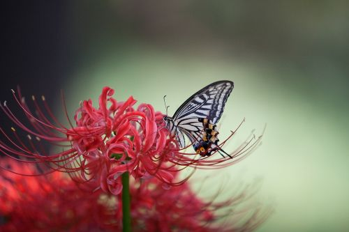 swallowtail flowers for red color