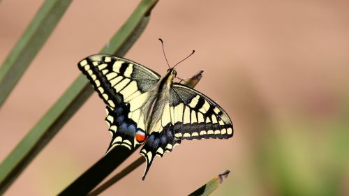 butterfly dovetail papilio machaon
