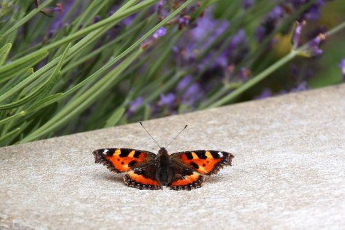 butterfly little fox edelfalter
