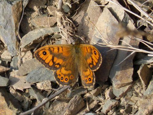 butterfly monarch orange