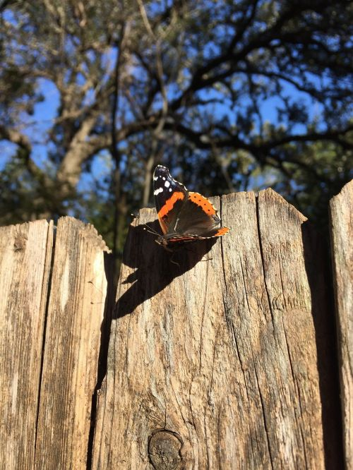 butterfly red admiral nature