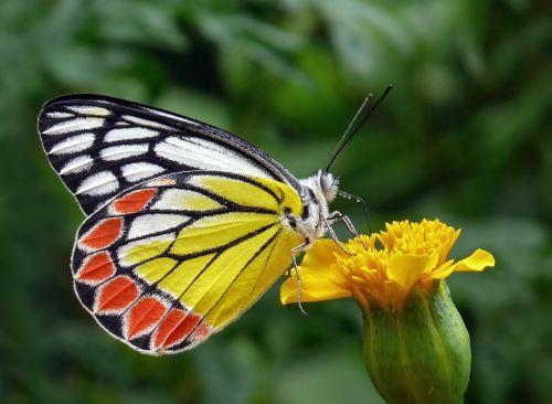 butterfly tigist flower bud