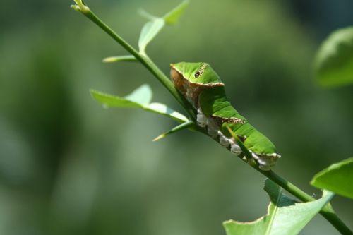 drugelis,lerva,lepidoptera,transformacija,metamorfozė,vikšras,sodas,pupa
