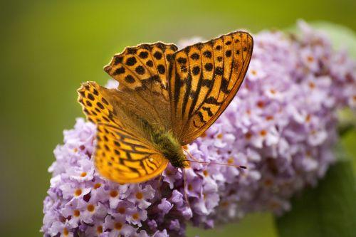 butterfly fritillary garden butterfly