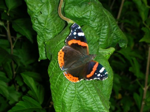 butterfly admiral nature