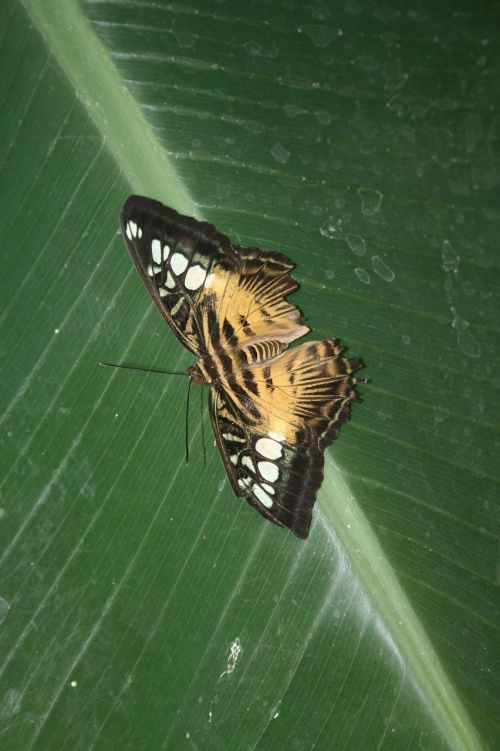 butterfly leave insect