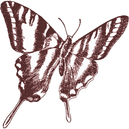 butterfly vintage drawing
