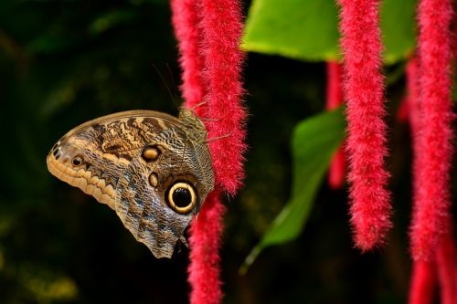 butterfly chenille pusstail