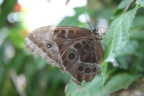 butterfly brown nature