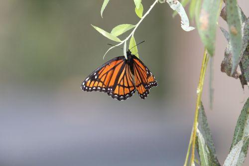 butterfly monarch monarch butterfly