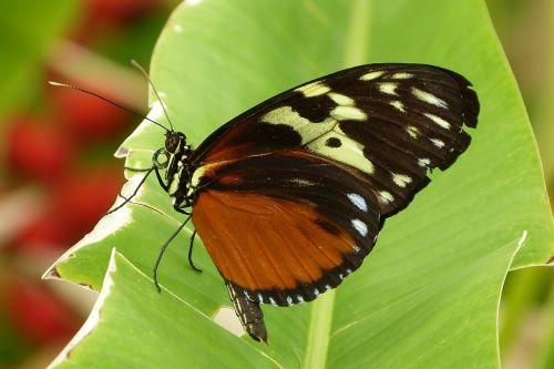drugelis,gamta,klaida,rudas drugelis,gėlės,drugelis parkas,vabzdžiai,sodas