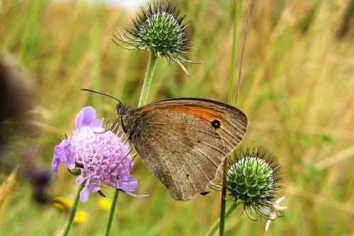 butterfly meadow brown meadow widow herb