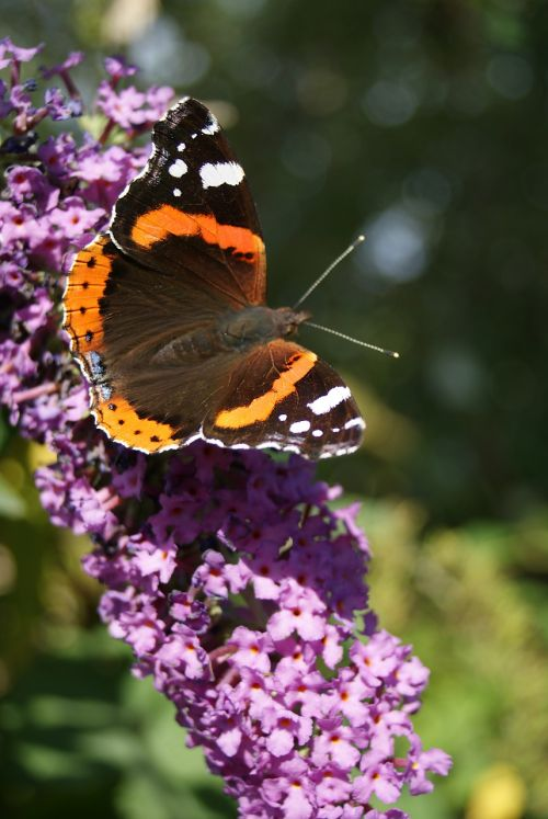 butterfly summer lilac nature