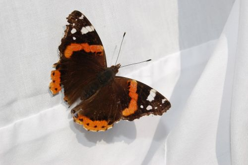 butterfly linen red