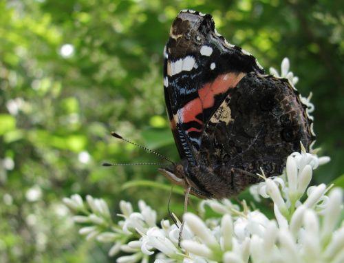 butterfly summer flowers