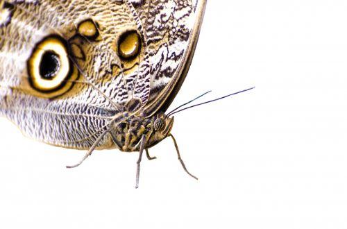 pelėdos, akis, sparnai, atogrąžų, ruda, kamufliažas, nuostabus, puikus, stovintis, pelėda & nbsp, drugelis, vabzdys, didelis, akis & nbsp, žymėjimas, drugelis, drugelis
