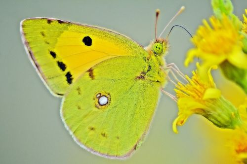 butterfly yellow lemon