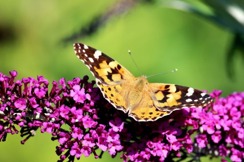 butterfly buddleja davidii nature