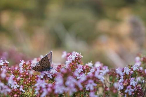 butterfly nature thyme