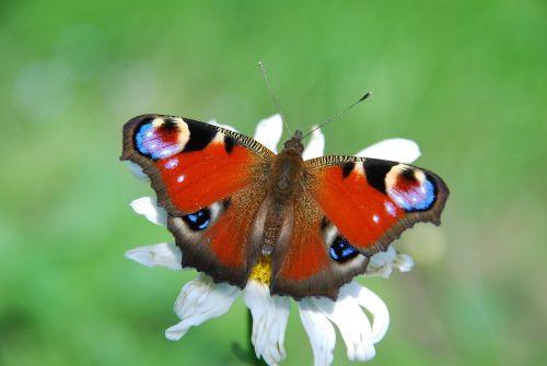 butterfly peacock aglais io