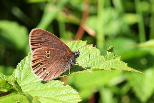 butterfly brown waldvogel aphantopus hyperantus