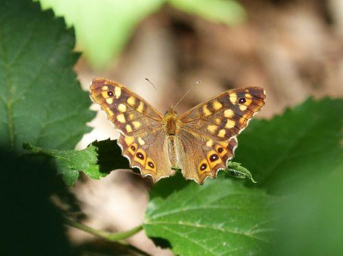 drugelis,drugelis saltacercas,šviesos taškas,lasiommata megera,oranžinė drugelis,margenera
