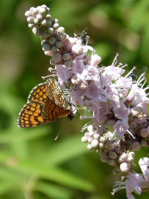 butterfly melitaea phoebe damero knapweed