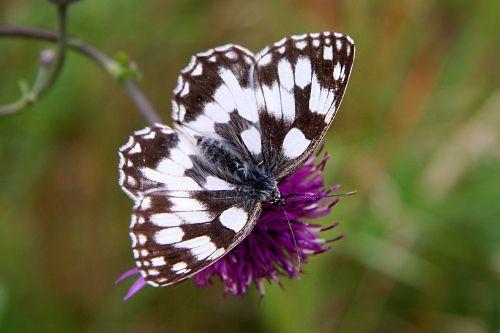 butterfly flower meadow