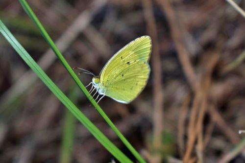butterfly yellow butterfly sulphur