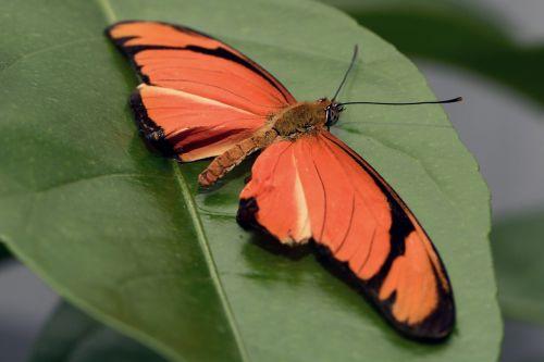 drugelis,vabzdys,sparnas,skristi,akys,gyvūnas,juoda,oranžinė,lapai,kojos,Uždaryti,piešimas,passionblume drugelis,dryas julia,gamta,mažas,galva,padaras,skrydžio vabzdys,gyvūnų pasaulis,drugelis namas