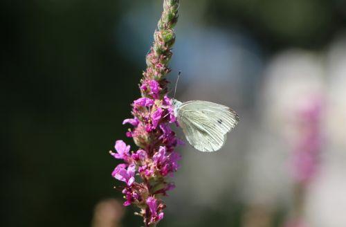 butterfly white beautiful