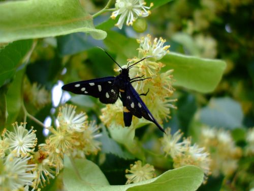 butterfly insect lime blossom