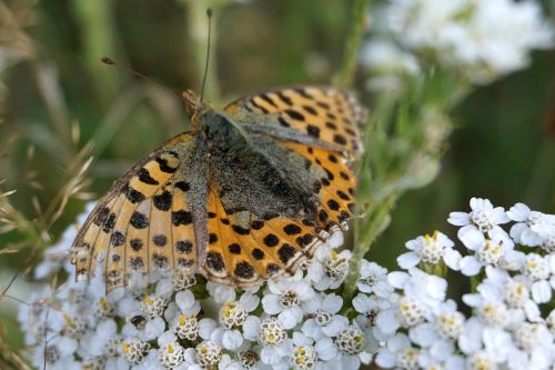 butterfly brown insect