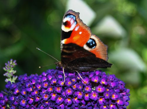 butterfly peacock close