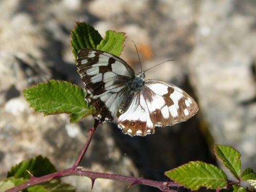 butterfly melanargia lachesis medioluto iberian