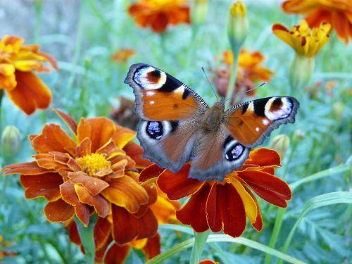 butterfly flower orange