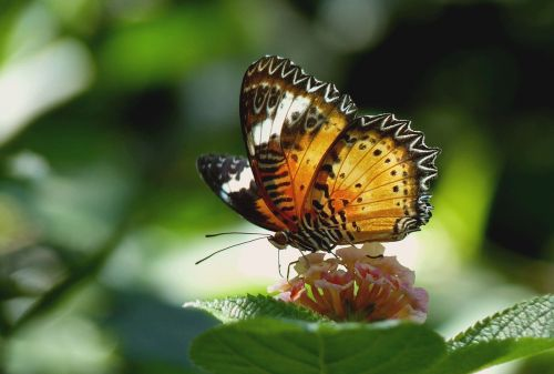butterfly exotic tropical