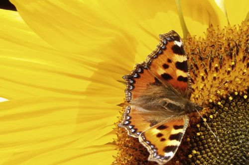 butterfly pollinate sunflower