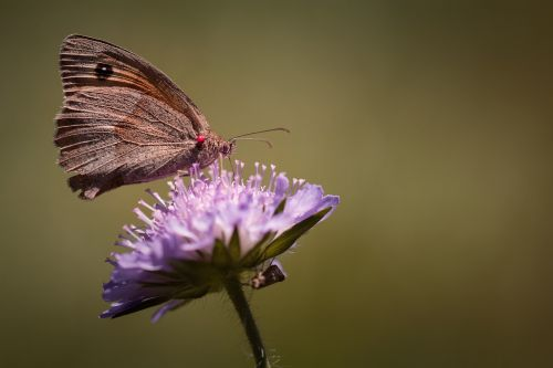 butterfly meadow brown edelfalter