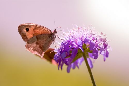 butterfly meadow brown deaf-skabiose
