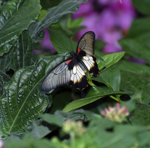 butterfly rumanzovia wings