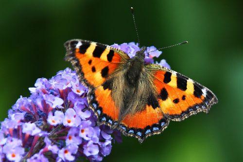 butterfly summer lilac buddleja davidii