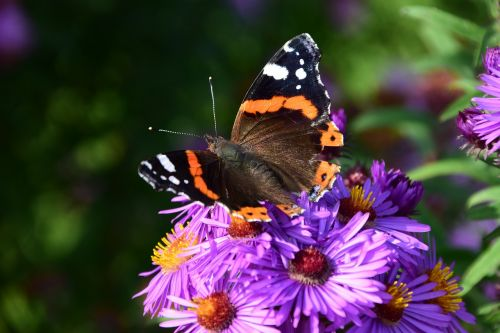 aster butterfly blossom