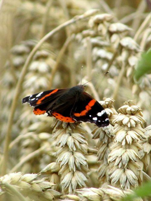 butterfly admiral edelfalter