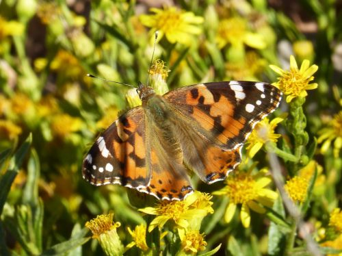 butterfly libar flower