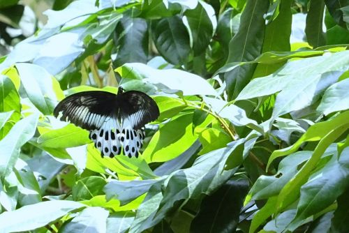 butterfly insect blue mormon